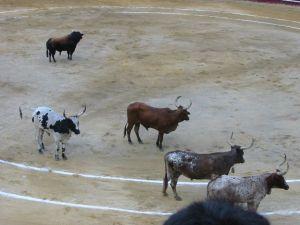 Bullfight81