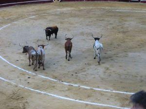Bullfight82