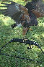HawkRuffled