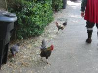Chickens01