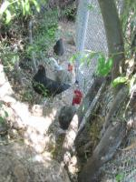 Chickens02