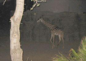 GiraffeByNight