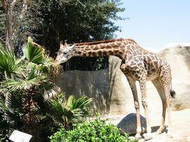 GiraffeEating